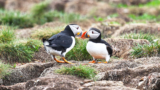 newfoundland atlantic puffins canada