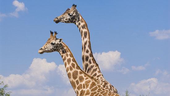Rothschild giraffesKenya