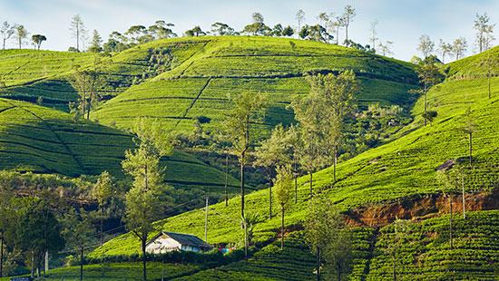 tea srilanka