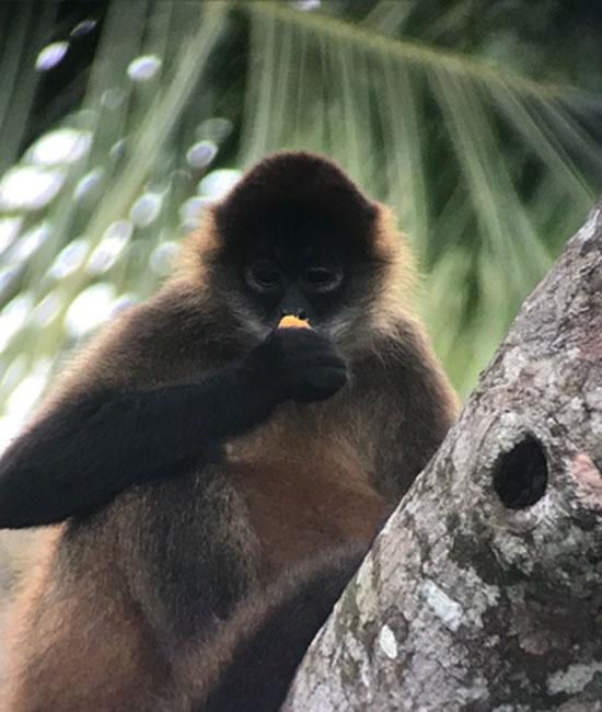 Monkey looking at Fruit