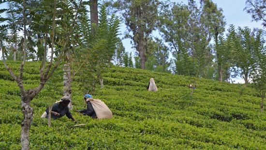 5Tea Plantation and tea pickers Sri Lanka