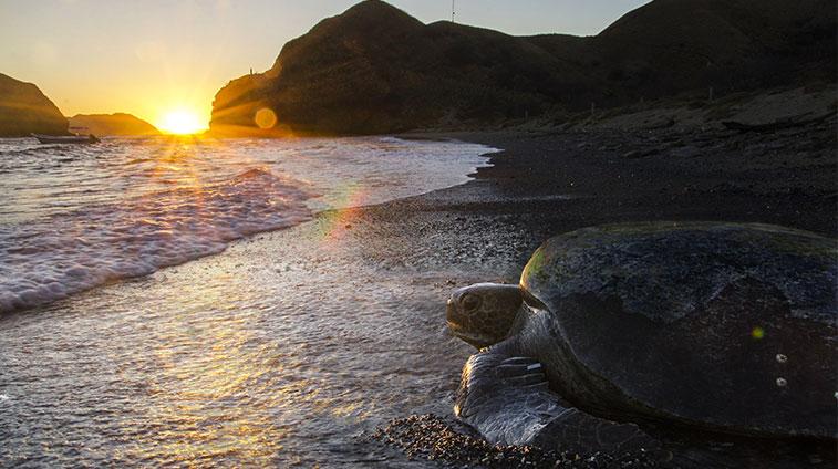 Sea Turtle on Beach in Costa Rica