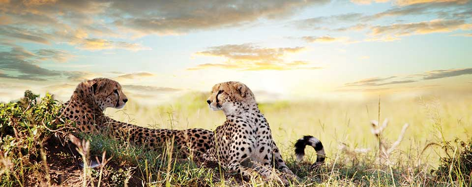 Cheetah_39453718_FotoliaRF_hero