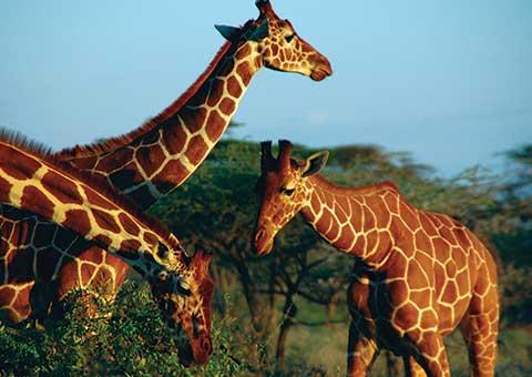 Giraffes1_CVO_carousel