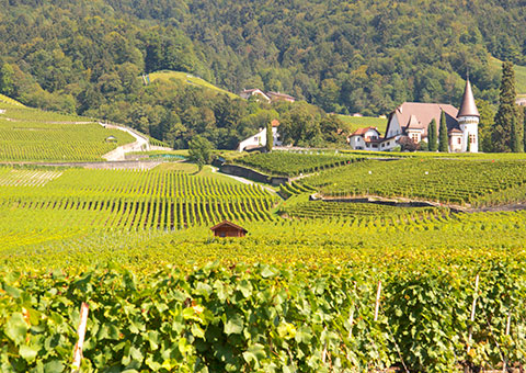 Vineyards_CVO_9283_480x340