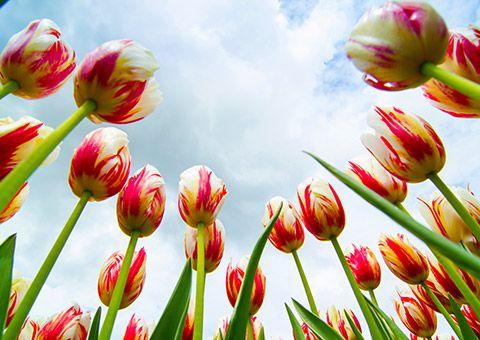 Tulips_50100049_FotoliaRF_18670_480x340