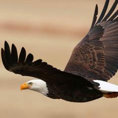eagle AdobeStock 104355430