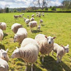 sheep cotswolds london uk  AdobeStock 56528039