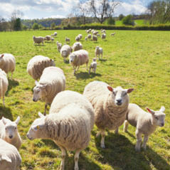 sheep cotswolds london uk  AdobeStock 56528039