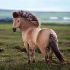 iceland horse AdobeStock 67808622