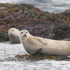 iceland seals AdobeStock 51599577
