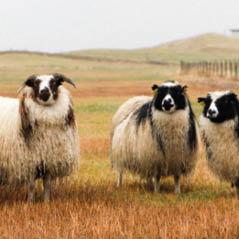 iceland sheep AdobeStock 173853145