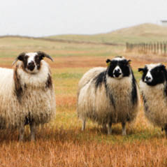 iceland sheep AdobeStock 173853145