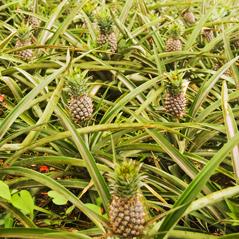 1pineapple plantation