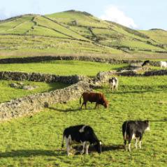 cows in azores AdobeStock 59860212