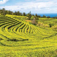 tea plantation azores AdobeStock 106717757
