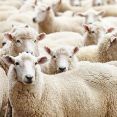 sheep AdobeStock 12172246