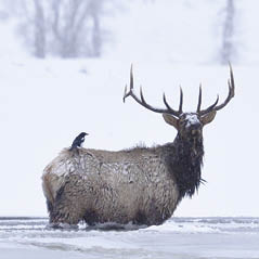 Elk Snow Yellowstone 76612842 FotoliaRF