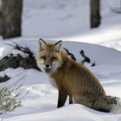 Fox LamarValleyYellowstone 49888698 FotoliaRF