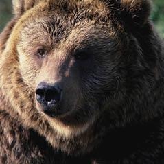 GrizzlyBear WST0045B CorbisRF 1037
