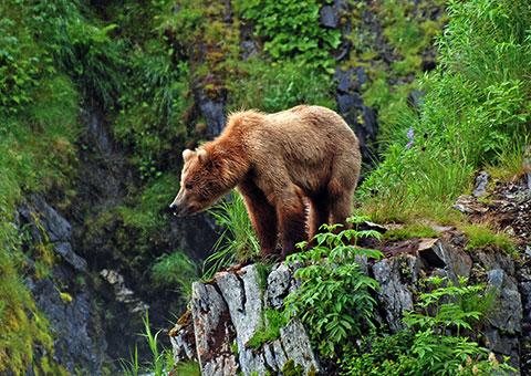 AlaskaBear_31369375_FotoliaRF_5341_480x340