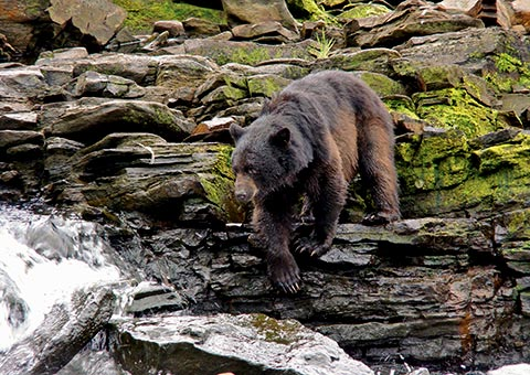 Black Bear - Collette