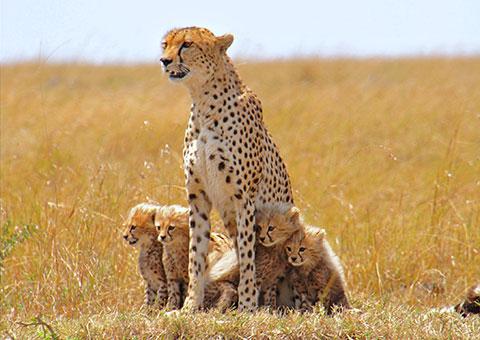 CheetahFamily1_CVO_6108_480x340