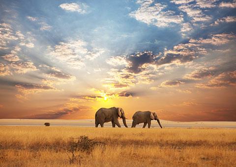 ElephantSunset 19027898 FotoliaRF 5541 480x340