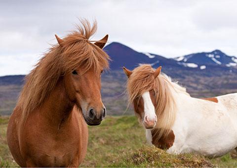 Icelandic Horses - Collette