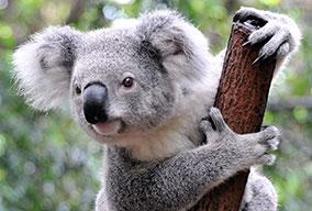 Koala_20359722_FotoliaRF_2537_284x192