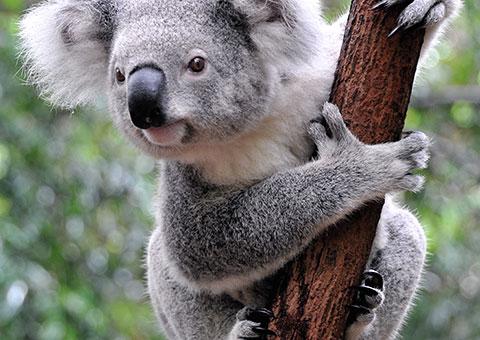 Koala - Collette