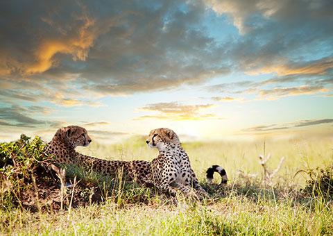 Leopards 39453718 FotoliaRF 5660 480x340