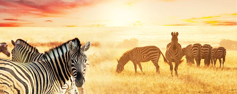 Zebras_48049196_FotoliaRF_3334_960x380