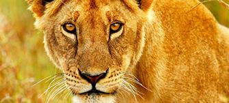 img_lion