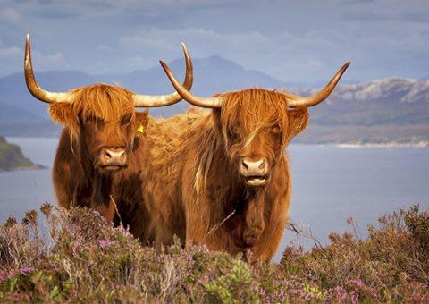 Scottish Highland Cows 68780901 3