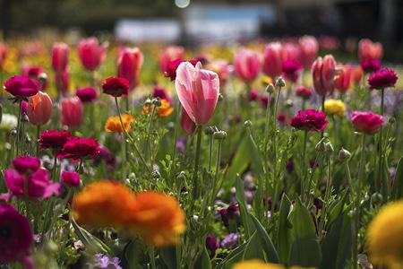SpringtimeTulipRC AltFloriade search